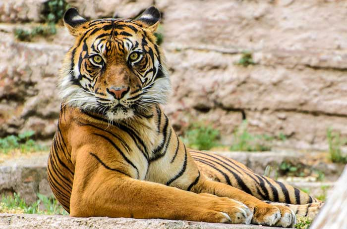 Зоопарк Барселоны: Тигр