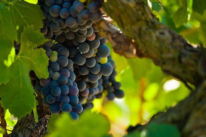 Pere Ventura производит каву из трех местных сортов винограда